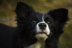Border collie-puppy Stock Fotografie