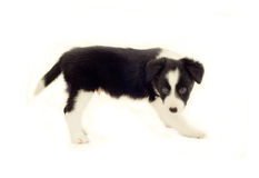 Border Collie Puppy. Adorable eight week old sheepdog puppy Royalty Free Stock Image