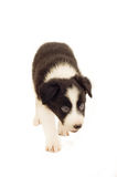 Border Collie Puppy. An image of an eight week old border collie pup walking Royalty Free Stock Photography