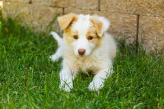 Border collie-puppy Stock Foto