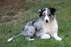 Border collie puppy. Bluemerle border collie puppy watching stock photos