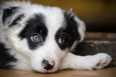 Border Collie puppy Royalty Free Stock Images