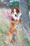 Border collie puppy in autumn. Border collie puppy and the tree in autumn time Royalty Free Stock Photos