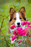 Border collie puppy in autumn. Border collie puppy and roses in autumn time Royalty Free Stock Images