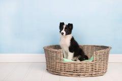 Border Collie puppy Stock Image