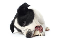 Border collie puppy. With a bone stock photo