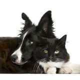 Border Collie puppy and a cat Stock Photo