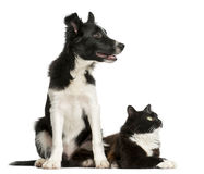 Border Collie puppy and a cat Stock Photos