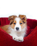 Border collie puppy Stock Photos