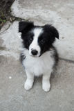Border collie puppy. Cute border collie puppy looking at the camera royalty free stock photo