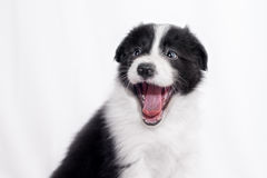 Border collie puppy. Cute Border collie puppy, on a white background royalty free stock photography