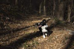 Border collie-puppy in de de herfstbladeren dat wordt ondergedompeld Stock Afbeelding