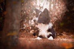 Border collie-puppy in de de herfsttuin die wordt ontspannen Royalty-vrije Stock Afbeeldingen