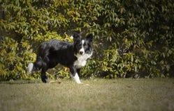 Border collie-puppy in de tuin wordt ontspannen die Royalty-vrije Stock Fotografie