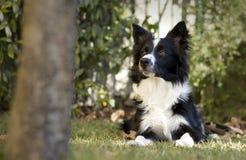 Border collie-puppy in de tuin wordt ontspannen die Royalty-vrije Stock Afbeeldingen