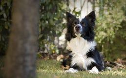 Border collie-puppy in de tuin wordt ontspannen die Stock Foto