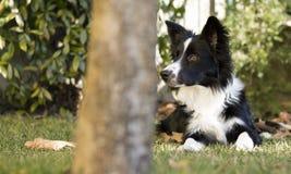 Border collie-puppy in de tuin wordt ontspannen die Stock Afbeeldingen