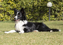 Border collie-puppy in de tuin wordt ontspannen die Royalty-vrije Stock Foto's