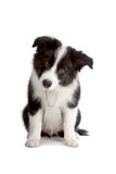 Border Collie puppy dog. Sitting Border Collie puppy dog looking into the camera isolated on a white background royalty free stock photos