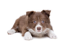 Border Collie puppy dog. In front of a white background stock photos