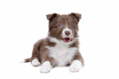 Border Collie puppy dog Stock Photos