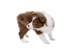 Border Collie puppy dog in front of a white background Stock Image