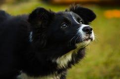 Border Collie puppy Stock Photos