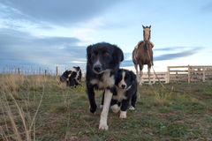 Border collie puppy dog and mother Stock Images