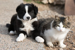 Border collie puppy dog portrait with a cat royalty free stock photos