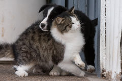 Border collie puppy dog portrait with a cat Royalty Free Stock Image