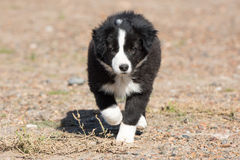 Border collie puppy dog portrait looking at you Royalty Free Stock Photos