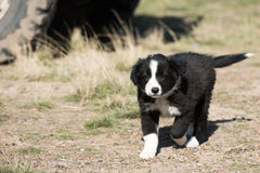 Border collie puppy dog portrait looking at you Stock Photography