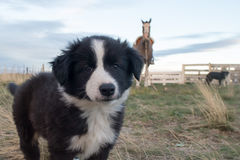Border collie puppy dog portrait looking at you. Border collie puppy dog portrait in a farm Royalty Free Stock Images