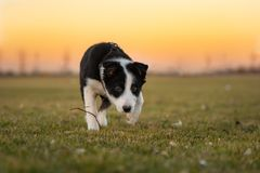 Border Collie puppy dog is running on a green meadow in front of colored sunset sky royalty free stock images