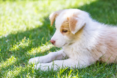 Border Collie puppy Royalty Free Stock Image