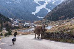 Border Collie puppy faces a cow in Vall d`Incles, Canillo, Andorra. stock photography