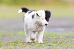 Border Collie puppy on a farm Stock Images