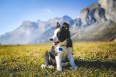 Border collie puppy on a field royalty free stock photos