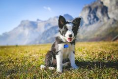 Border collie puppy on a field. Cute 2 months border collie dog sits on a grass with beautiful mountains view behind royalty free stock images