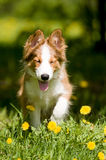 Border collie puppy in flowers. Border collie puppy sitting in the dandelions Stock Image