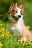 Border collie puppy in flowers. Border collie puppy sitting in the dandelions Royalty Free Stock Photo