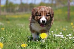 Border collie puppy in the garden. Cute brown border collie puppy is walking in the garden with dandelions stock photography