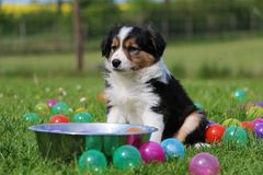 Border collie puppy in colored balls. Border collie puppy have fun in colorful balls in the garden stock images