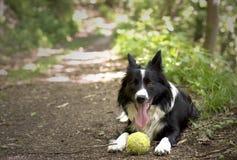 Border collie-puppy het ontspannen met de bal, in het hout Stock Foto