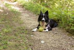 Border collie-puppy het ontspannen met de bal, in het hout Stock Afbeelding