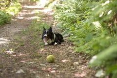 Border collie-puppy het ontspannen met de bal, in het hout Stock Afbeeldingen