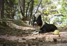 Border collie-puppy het ontspannen met de bal, in het hout Stock Fotografie