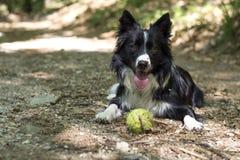 Border collie-puppy het ontspannen met de bal, in het hout Royalty-vrije Stock Fotografie