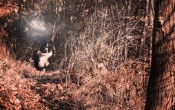 Border collie-puppy het spelen in de de herfstbladeren Royalty-vrije Stock Foto
