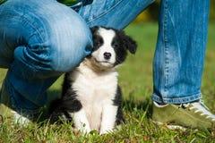 Border Collie puppy. Between human legs stock photo